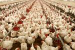 قیمت جدید مرغ ۲۰۴۰۰ تومان تعیین شد