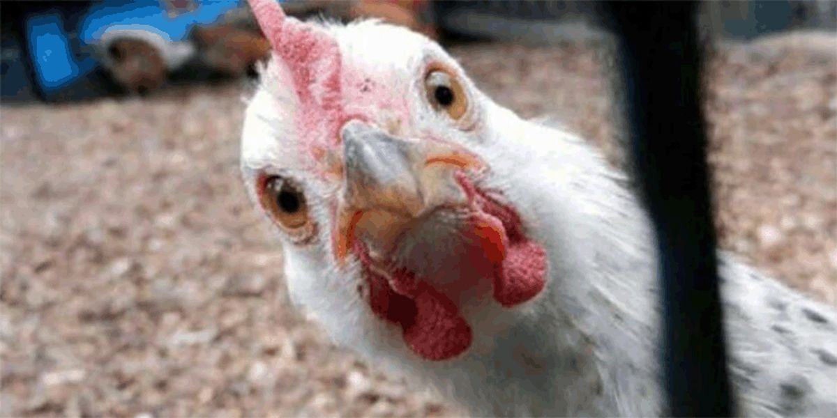 قیمت مرغ حباب دارد