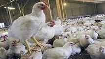 جریمه ۸.۴ میلیاردی تعزیرات برای یک عمده فروش مرغ