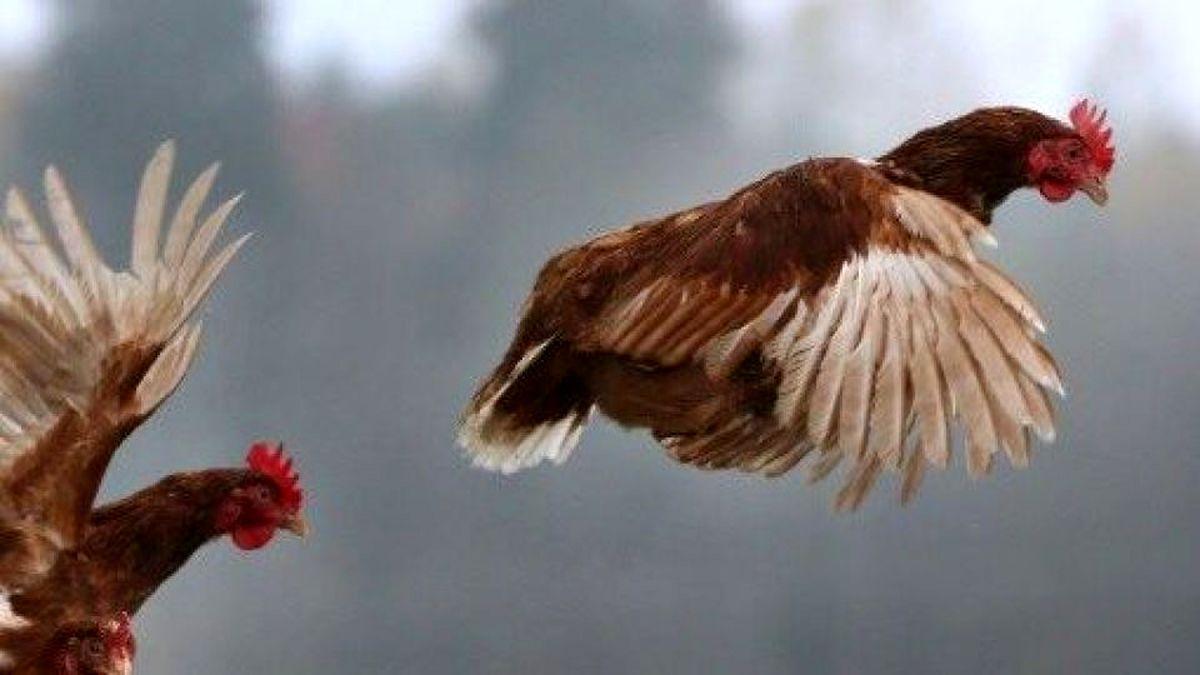 انتقال آنفلوآنزای مرغی به انسان در روسیه